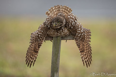 Rain Shower (naturethroughmyeyes.com) Tags: burrowing owl burrowingowl rainyday raindance nature wildlife outdoors birdofprey raptor florida usa northamerica barbaralynne naturethroughmyeyescom barbaralynnedarpino barbdeardendarpino canon1dx eos1dx naturephotographer wildlifephotographer endangeredspecies athenecunicularia
