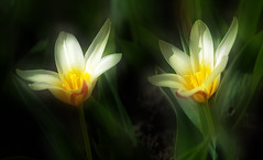 Tulip (augustynbatko) Tags: tulip flower tulips flowers nature flora spring macro view bokeh