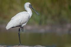 Royalty  DSC_0857 (BlueberryAsh) Tags: roxburgparklake birds spoonbill royalspoonbill lake bird australianbird