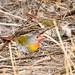 Green-winged Pytilia (Pytilia melba percivali)