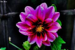 Flor de invierno (Jotha Garcia) Tags: flower macro garden jothagarcia maderuelo castillayleón españa spain noviembre november 2016 otoño autumn nikond3200 hdr colores colors flordeinvierno nikkor180550mmf3556 ngc