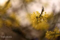 Kornoelje/Cornus (roelivtil) Tags: kornoeljecornus bokeh fantasticflower