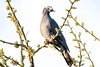 White-crowned Pigeon, Fort Zach, KW (LeeDunnPhotos) Tags: earlymorningsun fortzach whitecrownedpigeon