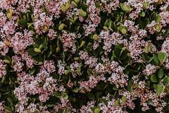 Flores del Riviera (pedrobueno_cruz) Tags: flowers photography photographer street colors d7200 35mm nikon bokeh explored ensenada méxico baja california sun day moments