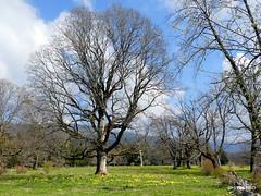 Imposante Bäume (HITSCHKO) Tags: lignières baum solitärbaum tanne fichte laubbaum jura landschaft schweiz suisse svizzera svizra switzerland romandie larcjurassienbernerjura lesprésdorvin orvin chasseralkette neuenburg neuchâtel