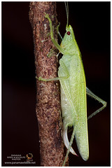 Katydid or Bush Cricket / Grillo de Monte o Saltamonte Longicornio (Panama Birds & Wildlife Photos) Tags: katydid bushcricket grillodemonte ngc