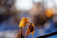 Light my fire (ej - photography) Tags: winter 2017 leaf sunlight sonnenlicht sonne sonnenstrahlen sunbeams olympus omd em5markii nature natur schweiz suisse switzerland svizzera macro makro gegenlicht bokeh mzuiko m60mmf28 january januar cold kalt backlight