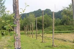 IMG_0995_1 (Pablo Alvarez Corredera) Tags: vega barros langreo huerta huerto arboles arbol kiwis kiwi postes alambrado rural mundo rustico