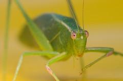 Bin hopper (OzzRod) Tags: pentax k5iis macrotakumar50mmf4macro insect grasshopper uncropped dailyinapril2017