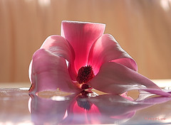 Magnolia Reflection ... (MargoLuc) Tags: pink spring magnolia flower soft tones reflection table natural light window backlight petals white macro bokeh
