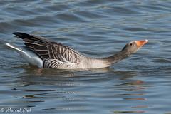 Biesbosch - Goose seduction mode (CapMarcel) Tags: biesbosch goose geese duck canadian nikon d500 500mm