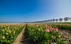 Dutch tulips (andeljmp99) Tags: samyang 14mm f28 tulips netherlands lelystad ultrawide vivid
