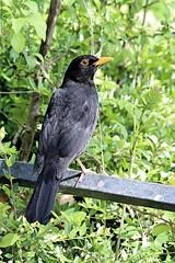 Male Blackbird (Turdus merula) (Jeff G Photo - 2.5m+ views! - jeffgphoto@outlook.c) Tags: blackbird commonblackbird turdusmerula regentspark bird birds