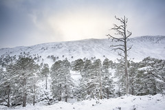 Last Stand (gerainte1) Tags: scotland cairngorms caledonianforest forest trees winter snow