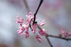 Redbud (moonwatcher13) Tags: redbud cerciscanadensis fabaceae flowers floweringtrees takomapark maryland d40