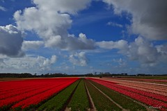 A touch of Dutch.... (The world in f stops) Tags: bulbs flowers tulips red spring holland netherlands colours sky clouds wolken blauw canon