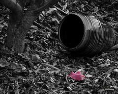 The red holly leaf (Hans Franchesco) Tags: blackandwhite redleaf hollyleaf redhollyleaf fallcolor autumncolor urn ceramicurn vase ceramicvase pot ceramicpot tree treetrunk youngtree sapling pottery