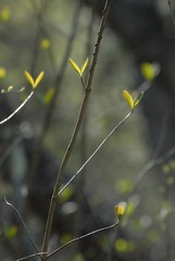 let's fly away (courtney065) Tags: nikond200 nature landscapes foliage yellow depthoffield woodland spring branchlets trees artistic blurred soft softlight glow flora flowers blooms blossoms