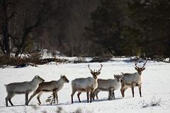 Wild Reindeer Herd (Fredrik Stige/Wildlife Photography) Tags: reindeer wildlife nature spring mountains antlers deer animal mammals mammal