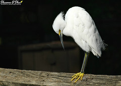 """When did I step in yellow paint?"" (Shannon Rose O'Shea) Tags: shannonroseoshea shannonosheawildlifephotography shannonoshea shannon snowyegret egret white bird beak feathers yelloweye yellowfeet yellowlegs alligatorbreedingmarshandwadingbirdrookery gatorland orlando florida flickr wwwflickrcomphotosshannonroseoshea nature wildlife waterfowl outdoors outdoor fauna skinnylegs birdyfeet canon canoneos80d canon80d eos80d 80d canon100400mm14556lisiiusm egrettathula"