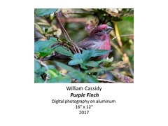 "Purple Finch • <a style=""font-size:0.8em;"" href=""https://www.flickr.com/photos/124378531@N04/33953740096/"" target=""_blank"">View on Flickr</a>"