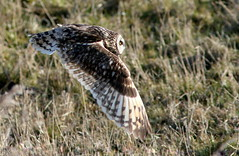 Short Tempered (Ger Bosma) Tags: 2mg167946 velduil asioflammeus shortearedowl short eared owl sumpfohreule hiboudesmarais hiboubrachyote búhocampestre lechuzacampestre gufodipalude