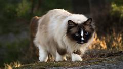 DSC_0494-Edit.jpg (metturn) Tags: ragdoll birman animalportrait sealmitted portrait noseblaze cats blaze blueeyes cat animals felines kråkerøy bailey sealcolor