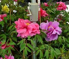 "Peonie ""a manovella"" :-) (boisderose) Tags: peonie peonies fiori flowers pink aprile april 2017 boisderose manovella crank hortitergestini2017"