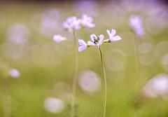 Flowery Meadow (michel1276) Tags: meyergörlitz meyeroptik meyer trioplan trioplan10028 exa a7ii sonya7ii spring wiese meadow flower frühling vintagelens