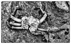 leftovers (Francis Mansell) Tags: crab animal invertebrate crustacean monochrome blackwhite orkney carapace