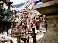北野天滿宮 (Roa!) Tags: 日本 關西 京都 北野天滿宮 梅花