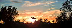 Fly at Sunset (Mark Photography 2017) Tags: altostratus anas angle animal animalia anseriformes back bird blue blur blurred bottom cirrostratus cirrus cloudtype composition day deep detail duck ducks dusk effect environmental evenfall exterior feather flare floor focus framing geese gloaming horizontal landscape lens level life light mallard moonrise motion natural nature nightfall orientation outdoor panorama phenomenon plant platyrhynchos rays set setting shade shadow silhouette sky skyline style sun sundown sunset time travel tree twilight vegetation view weather wild wildlife worldartscraftsphotographylightinglightrayslensflaresettingskylineexterioroutdoorphotogenrestyletypewildlifenaturetravellandscapeorientationmotionblurredblurbacksunnaturalframingcompositiondetailenvironmentalformatpanorama