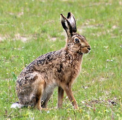 Hare (alpenfrankie) Tags: canon eos 1100d wildlife animals hare mammal northcave ywt nature