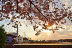20170413_014_2 (まさちゃん) Tags: 夕陽 桜 光 山脈