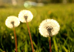 Bloated dandelion (michellemätzig) Tags: nature light flower shadow gras green white germany europe best beautiful good gorgeous wow favorite fantastic colour incredible exciting awesome