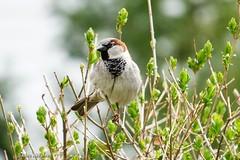 Male House Sparrow (Anne Ahearne) Tags: housesparrow sparrow bird birds nature wildlife animal