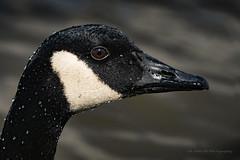 Canada Goose / Bernache du Canada  / Branta canadensis (FRITSCHI PHOTOGRAPHY) Tags: bernache canadagoose brantacanadensis parcdesrapidesdelachine
