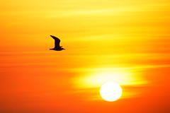 Last flight (Bruno MATHIOT) Tags: sunset orange color couleur animal sun france french plage beach soleil silhouette canon 760d 55250