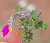 CAD0008906a (jerryoldenettel) Tags: 170411 2017 blackcanyon dalea daleaformosa fabaceae fabales featherplume indigobush n rosids socorroco bush featherdalea featherydalea flower shurb willdflower