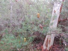 Banksia spinulosa var spinulosa 9 (barryaceae) Tags: booderee avenue hyams beach jervis bay national park nsw australia aushp heath plant ausheathplant