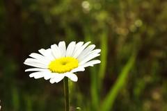 petal (fabri38) Tags: flowe macro fuji primopiano flora nature album sottobosco