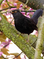 Amsel / blackbird  ♂ (2) (Ellenore56) Tags: 25042017 amsel blackbird ouzel merle merl commonblackbird schwarzdrossel turdusmerula drosseln singvogel vogel bird ♂ hahn amselmännchen male songbird singingbird futter food tier animal tiere animals lebewesen creature detail moment augenblick sichtweise perception perspektive perspective reflektion reflection reflexion farbe color colour licht light inspiration imagination faszination magic natur nature panasonicdmctz61 ellenore56 regenwurm wurm earthworm worm