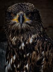 Juvenile bald eagle (Eric@focus) Tags: cropped incaptivity bouillon birdsofpreyshow baldeagle zeearend vogelbescherming enhanced nikfilters nikond7100 viveza colorefexpro sharpenerpro greatphotographers
