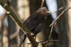 Female Common Blackbird (Turdus merula) (sdflickr2) Tags: attenboroughnaturereserve nottinghamshire female commonblackbird turdusmerula