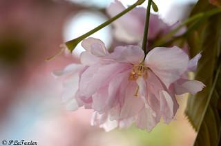 Les fleurs sont jolies, dès que le printemps revient 08