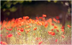 The red poppies (Photo Luc@) Tags: zenit helios 402 85mm f15 canon 6d rosso allaperto lens vintage bokeh light red poppies