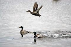Take off and splash down. (artanglerPD) Tags: take off splash down three mallard ducks