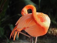 Flamingo (Thanks for over 2 million views!!) Tags: chadsparkesphotography centralflorida canoneosrebelt5 nature bird flamingo park macro macrophotography seaworldorlando seaworld orlandoflorida orlando
