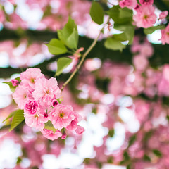 This is spring (thethomsn) Tags: spring floral flowers cherryblossom tree branch sakura nature closeup 1x1 bokeh rose thethomsn 30mm