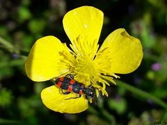 Trichodes alvearius (gökhan eren) Tags: trichodesalvearius gökhaneren gkhnrn sakarya turkey türkiye wild wildlife böcek bugs bug beetle